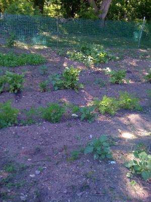 Fresh lettuces, beets, and collard greens
